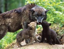 Sentencia referida al control del lobo Ibérico en Cantabria