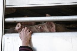 Freno al intrusismo en granjas y mataderos