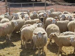 Actualización de los protocolos de sincronización de celos en ovino