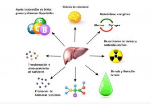 Salud hepática: Clave para alcanzar rendimientos óptimos