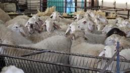 El FEGA fija las ayudas asociadas al ovino - caprino para la PAC de 2018
