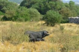 El Cerdo Negro Mallorquín puede ser rentable como actividad complementaria