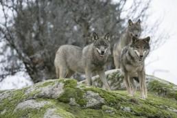 El desastre originado por los lobos en la Sierra de Gredos