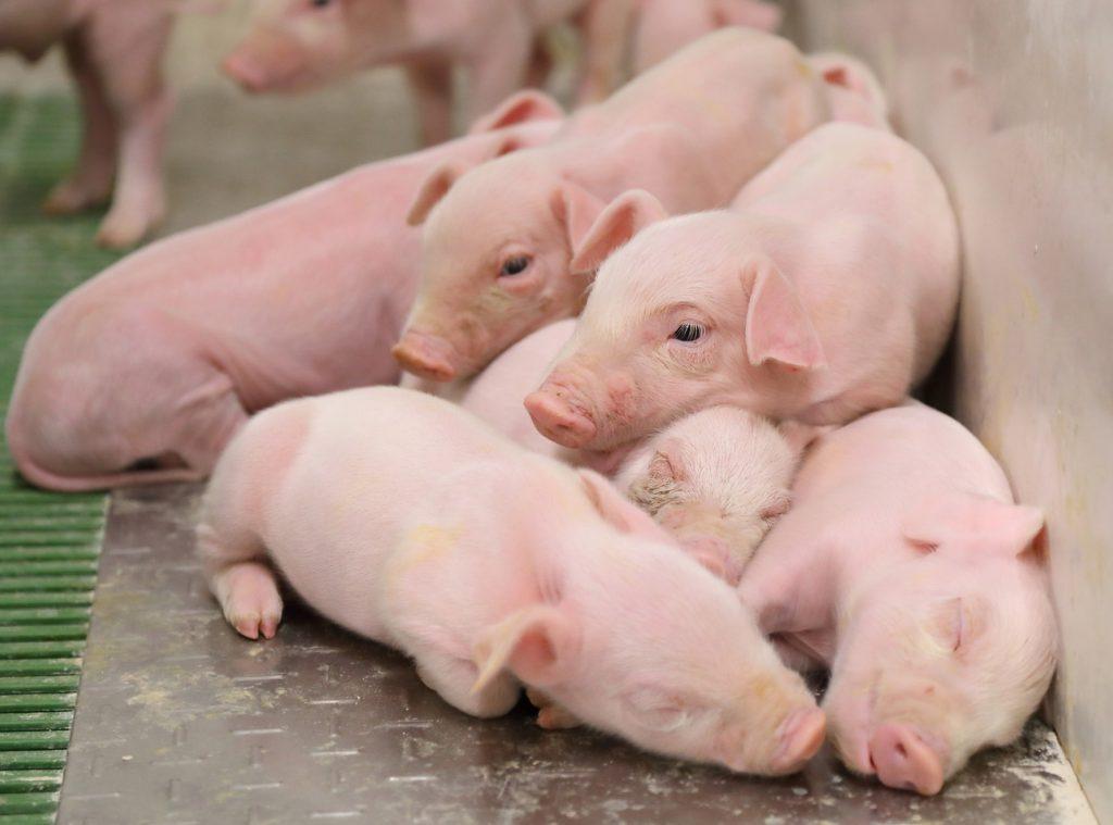 ICPOR obtiene el certificado 'Bienestar animal y bioseguridad' con la máxima calificación