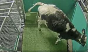 FORO AGRO GANADERO, Investigadores enseñan a vacas a usar letrinas para reducir las emisiones de amoniaco