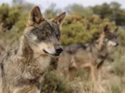 FORO AGRO GANADERO, Lobo Ibérico: Cazar lobos estará prohibido en toda España