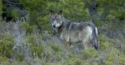 FORO AGRO GANADERO, Convivencia entre humanos y el lobo es posible