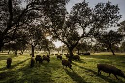 foro agro ganadero, La COVID reducirá la carga de cerdos en una montanera buena en bellota